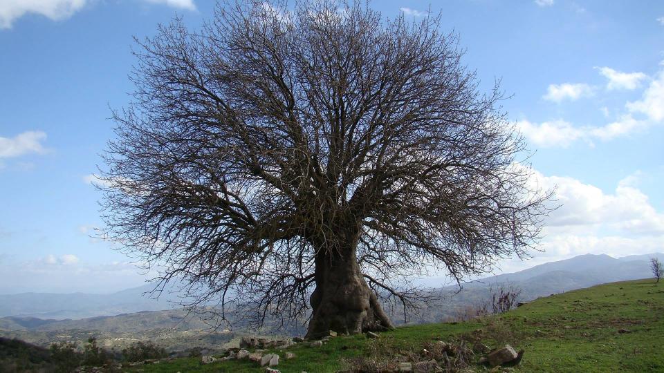 Bir Yalnız Çitlembik Ağacı